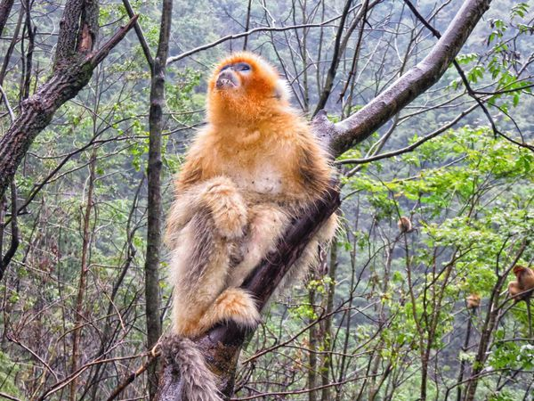 Animal Themes Animal Wildlife Animals In The Wild Branch China Climbing Day Forest Golden Monkey Low Angle View Mammal Nature No People One Animal Outdoors Snub Nosed Golden Monkey Tree