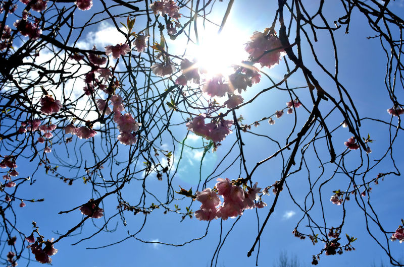 Cherry Blossoms Beauty In Nature Blossom Branch Day Flower Flowering Plant Food Food And Drink Fruit Growth Lens Flare Low Angle View Nature No People Outdoors Pink Blossoms Plant Sky Sun Sunbeam Sunlight Sunny Tree
