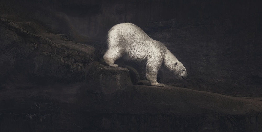 Full length side view of polar bear walking down steps in zoo