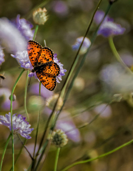 Fritillary Butterfly Marbled Focus On Foreground Purple Flowers Close-up Orange Butterfly Perching Flower Head Butterfly - Insect Insect Multi Colored Purple Beauty Close-up Plant Pollination Butterfly Animal Antenna Flowering Plant Symbiotic Relationship Moth Animal Wing Summer Exploratorium