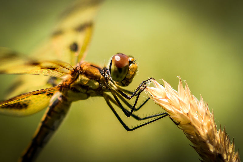 Dragonfly landed on grass next to the pond at West End Creamery in Whitinsville, MA Beauty In Nature Bokeh Bokeh Photography Close-up Day Depth Of Field Dragonflies Dragonfly Focus On Foreground Grass Growth Insect Macro Macro Beauty Macro Nature Macro Photography Macro_collection Nature Nature Eyeemphoto Outdoors Selective Focus Summer Summertime Wildlife