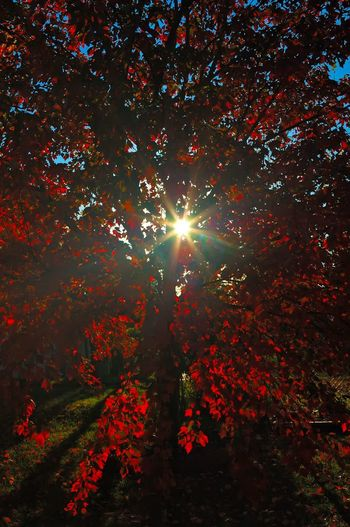 Sunbeam through the red maple... Back Lit Beauty In Nature Branch Day Growth Lens Flare Low Angle View Majestic Maple Leaf Nature Non-urban Scene Outdoors Outline Red Red Red Color Scenics Solitude Streaming Sun Sunbeam Sunlight Tranquil Scene Tranquility Tree