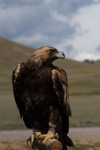 Golden eagle perching against sky on sunny day