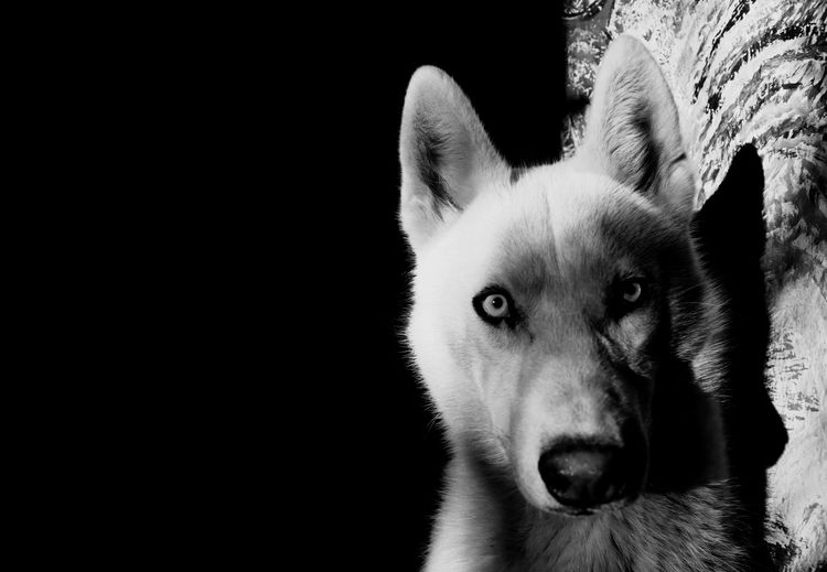 Welcome To Black Animal Themes Pets Mammal One Animal Domestic Animals Dog Siberian Husky Looking At Camera Portrait No People Close-up Black Background Outdoors Day