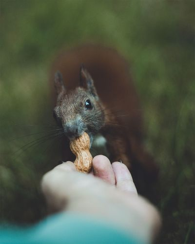 Cropped hand of person feeding peanut to squirrel