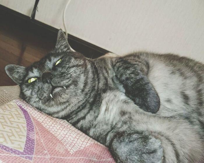 Mycat Monster ねこ きばお でぶ おろ トド