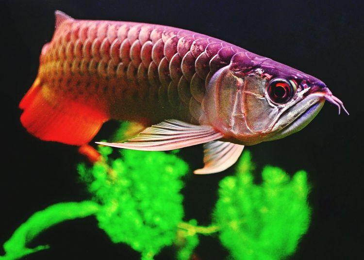 Arrowana Aquarium Photography Aquarium Life Dragonfish