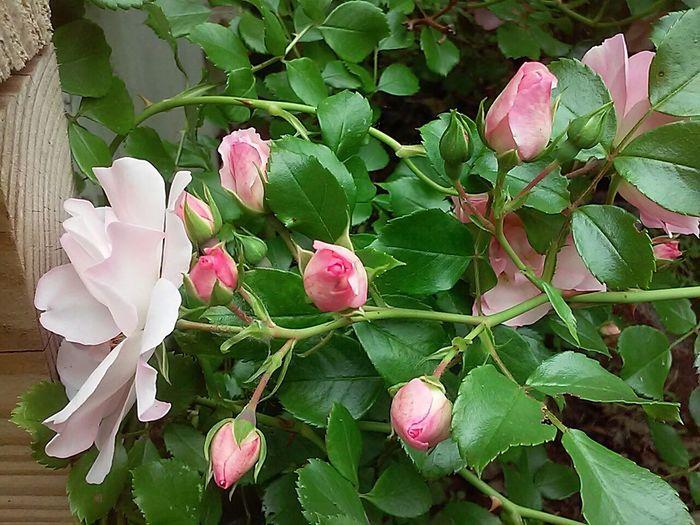 Roses Rosebush