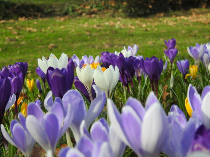 The spring comes Beauty In Nature Blooming Close-up Crocus Day Flower Flower Head Focus On Foreground Fragility Freshness Growth Nature Nikon P900 No People Outdoors Petal Plant Purple