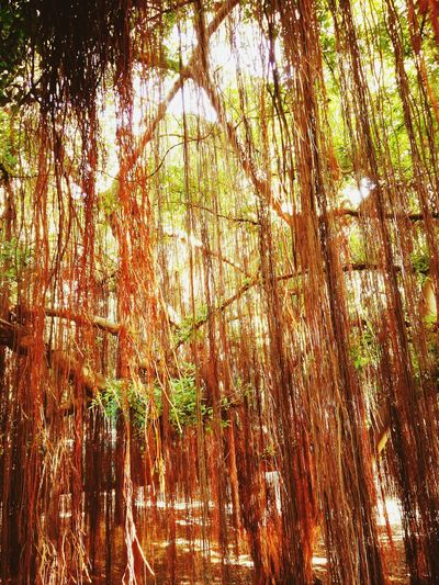 Tree Nature Growth Forest Low Angle View Outdoors Beauty In Nature No People Day WoodLand Branch Pine Tree Pinaceae Full Frame Bamboo Grove Backgrounds Tree Area Bamboo - Plant Sky Freshness Zoo Lopburi Zoo Lopburi Thai Life Lopburi Thailand