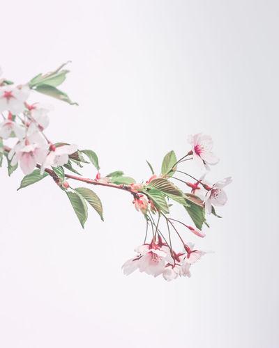 Sakura, the
