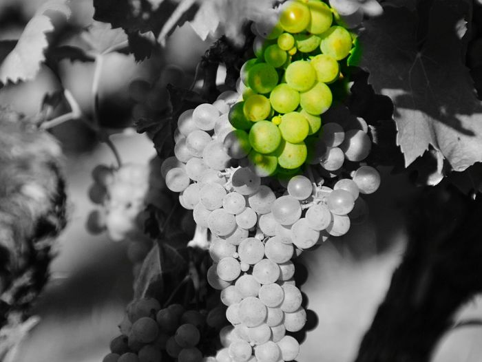 Picturing Individuality Autumn Colors Farbe Natur Herbststimmung Autumn Melancholy Nature Black And White Schwarzweiß Autumn Plant Green Grün Grapes Trauben Weintrauben Wine Grapes