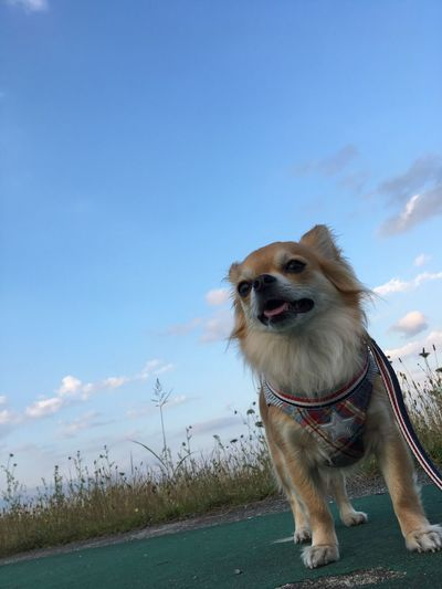 Dog Pets One Animal Domestic Animals Animal Themes Mammal Sky Outdoors Day Full Length Standing No People Grass Niko Chihuahua Family