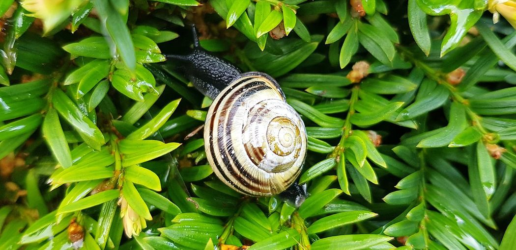 Snail🐌 Snail Hedge Nature_collection Walking Around Leaf Close-up Plant Green Color Wildlife