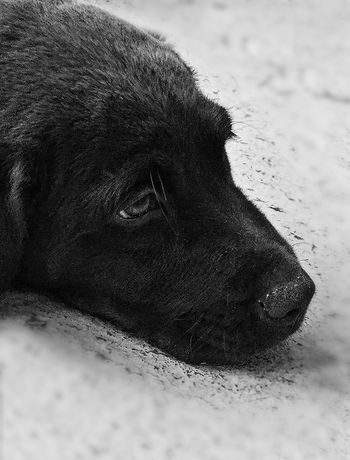 The Innovator Relaxing Puppy Face Puppy Dog Eyes Puppy Black And White Photography Sad Puppy Eyes Cute Pets Cute Puppy Labrador Retriever Lab Puppy Pets Cute Pet Akc Mans Best Friend Obedient Loyal Loyalty Ukc Ckc