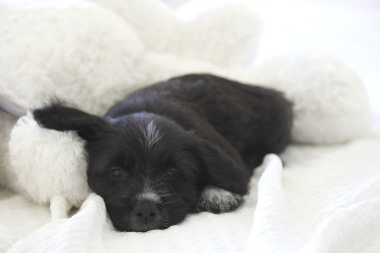 Portrait of puppy resting on bed
