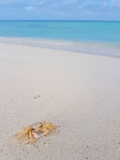 aruba Aruba Photography No People Samsungphotography Crab Focus On Foreground Phoneography Sea Life Sea Wave Beach Water Sand Full Length Tropical Climate UnderSea Sky Claw Crustacean Visual Creativity Summer Exploratorium