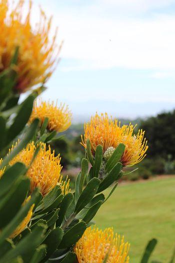 Protea Gold Dust Kirstenbosch South Africa Flowers Flower Flowers,Plants & Garden Africa Cape Town Protea Flower Flower Head Flower Collection Flower Photography Yellow Flower Yellow Green