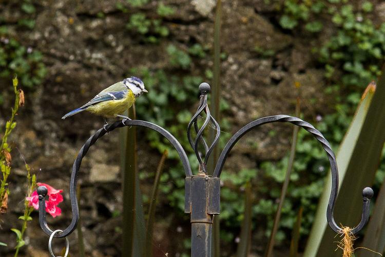 Bluetit perching in metal fence