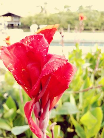 Flower Head Flower Water Red Drop Petal Leaf Wet Close-up Plant
