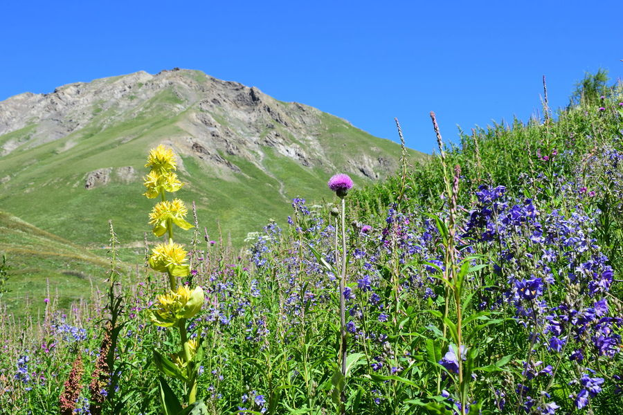 Mountain flowers Beauty In Nature Blooming Blue Clear Sky Day Field Flower Flower Head Fragility Freshness Grass Green Color Growth Landscape Mountain Nature No People Outdoors Plant Poppy Scenics Sky Tranquil Scene Tranquility Uncultivated Lost In The Landscape