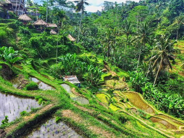 Tegalalang Rice Terrace Ubud Ubud, Bali Bali INDONESIA Padi