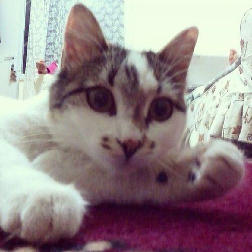 Animal Cat Kedi Pitircik