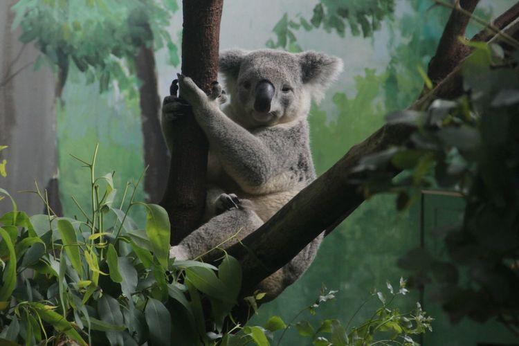 Koala sitting on branch at zoo