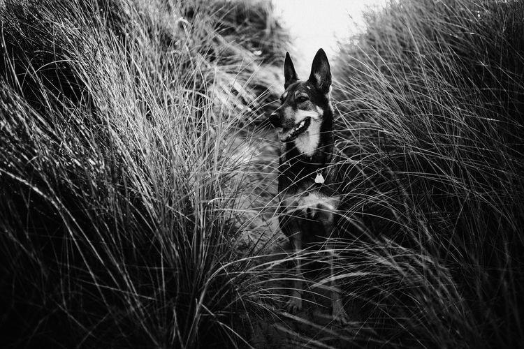 Shepherd in the