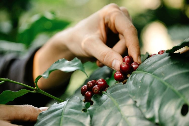 Photo of coffee beans taken during the day, in the bumijawa area, tegal regency, indonesia