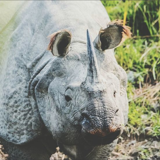 Just this one more (for now) of this wonderful beast - THE GREATER ONE- HORN RHINOCEROS @ Kaziranga, Assam, India - Feb 2017. - SAVE THE ENVIRONMENT TO SAVE THE WORLD. Endangered Species Beauty In Nature Nature_collection Wild Animals Nature Nature Photography Nature_collection Landscape_collection EyeEmNatureLover Wild Life Photo Nikonphotographer Nikon Nikon Photography Japanese World Traveller Endangered Animals Exclusive_shots Natgeowild Animals In The Wild Outdoors Animal Wildlife Animal Themes Rhinocéros Indien Rhino Rhinoceros Russian Travel Russian Travel Blog Animals In The Wild