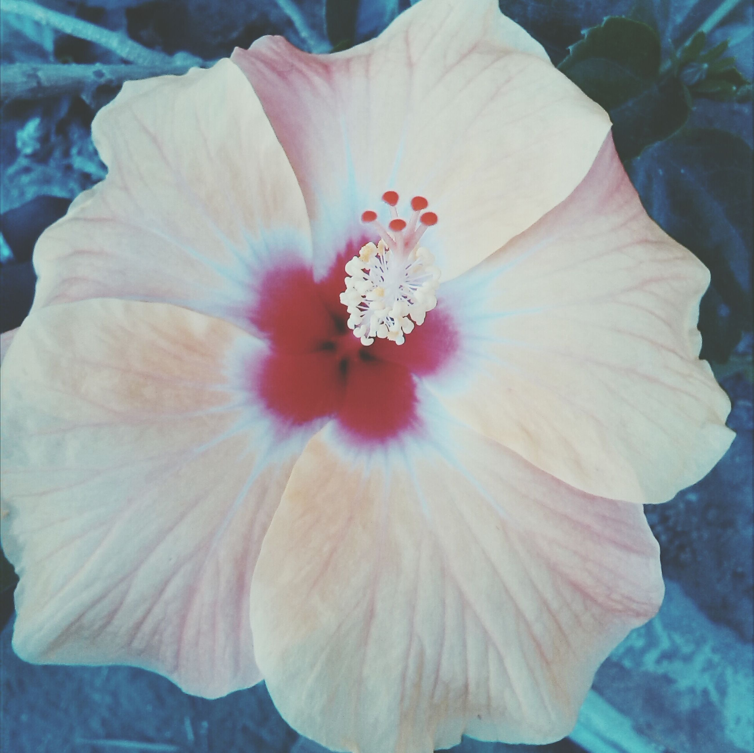 flower, petal, flower head, fragility, freshness, single flower, beauty in nature, growth, close-up, pollen, stamen, nature, blooming, in bloom, plant, blossom, hibiscus, natural pattern, botany, softness