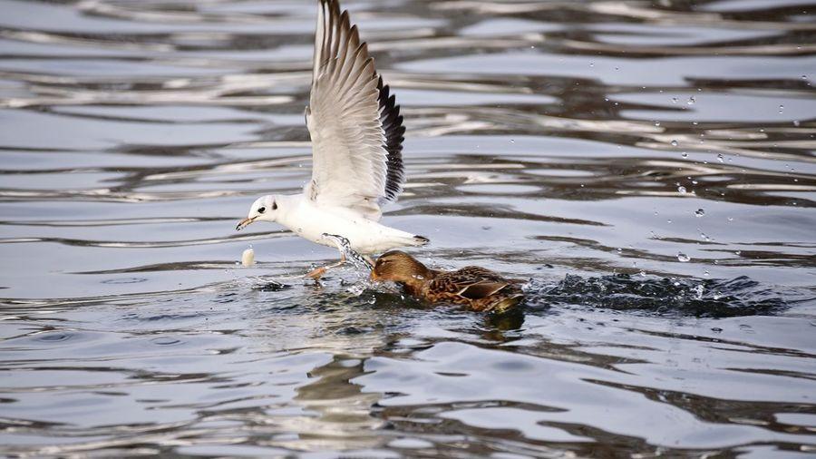 The fight. Bird