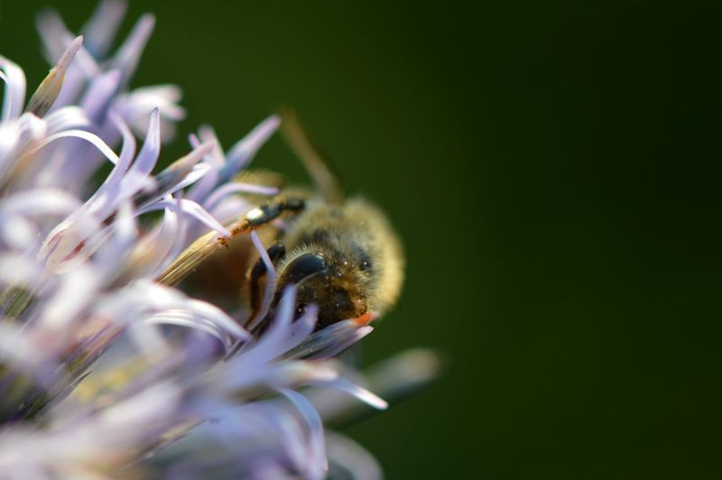Close-up of bumblebee pollinating on thistle