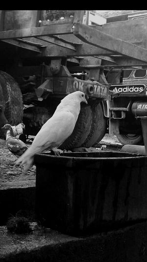 Adapted To The City Birds_collection Pigeons Blackandwhite Blackandwhite Photography Black And White Collection  My Unique Style My Collection Life In A City Road Side View Outdoors Photograpghy  Simple Things In Life Learn & Shoot: Simplicity Life's Simple Pleasures... Welcome To My World My Photography