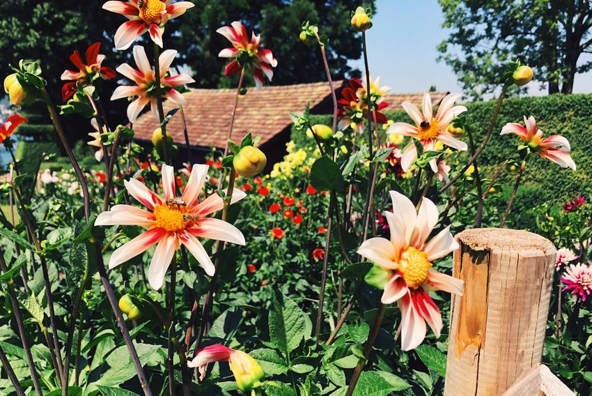 Flowering Plant Flower Plant Freshness Fragility Vulnerability  Growth Beauty In Nature Nature Day Flower Head Inflorescence No People Close-up Outdoors Pollen Fence Field