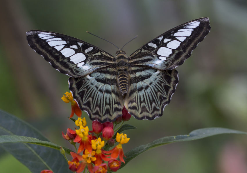 Clipper butterfly - Parthenos sylvia Butterfly ❤ Clipper Parthenos Sylvia Beauty In Nature Butterfly Butterfly - Insect Butterfly Collection Insect Insect Photography Nature One Animal