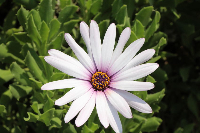 Close Up of White Flower Beauty In Nature Close-up Day Flower Flower Head Flowering Plant Focus On Foreground Fragility Freshness Gazania Growth Inflorescence Nature No People Osteospermum Outdoors Petal Plant Pollen Purple Vulnerability  White Color