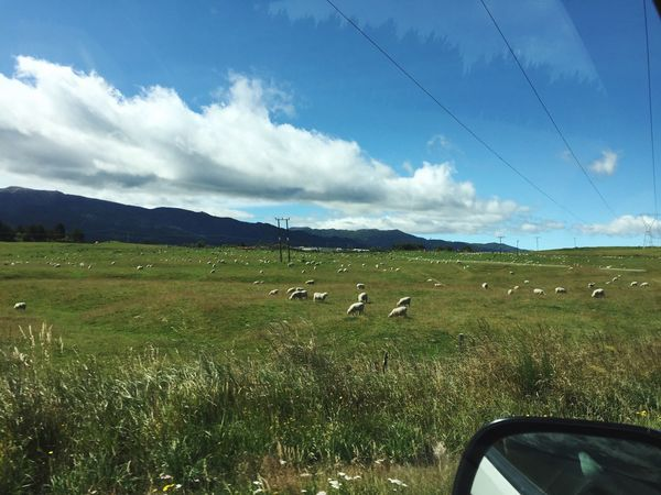 Sheep New Zealand Nature Green White Sheep Travelling Around Driving Go Just Travelling Holiday Summer Animals Animal