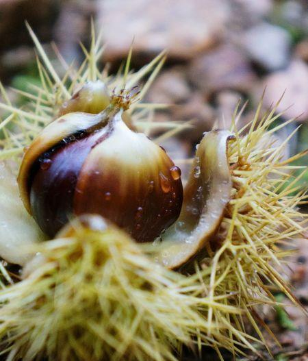 Close-up of wet chestnut