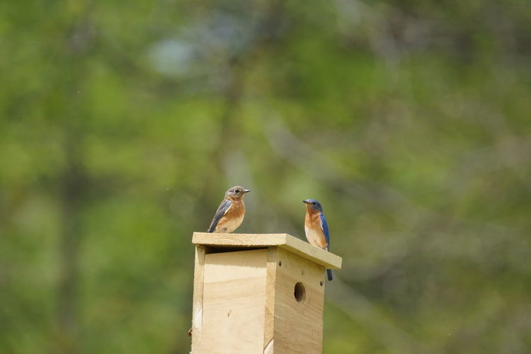 Eastern bluebirds perching on wooden nest