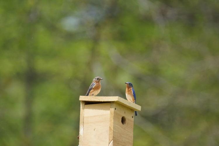 Eastern Bluebirds Perching On Wooden Nest