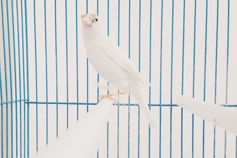 View of white parrot in cage