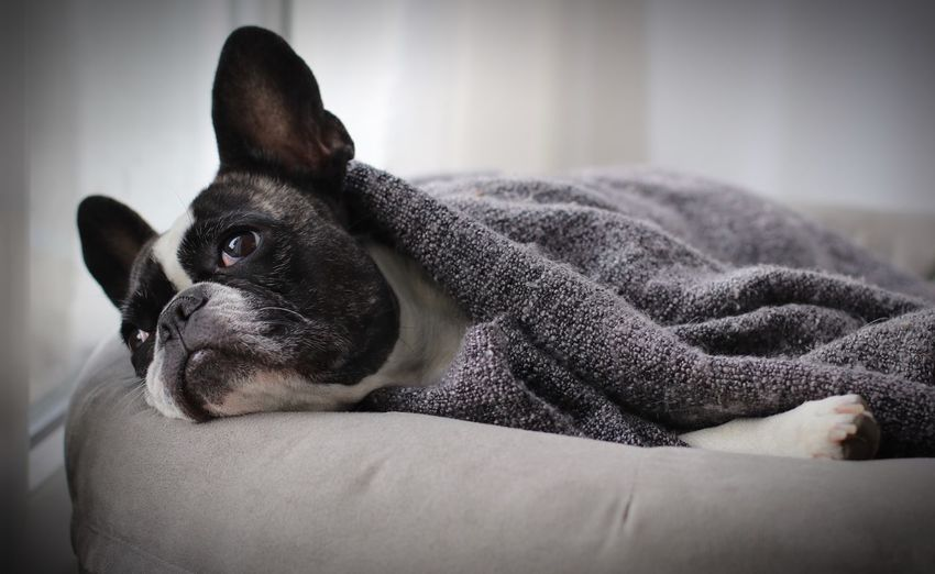 Close-up of dog relaxing on bed at home