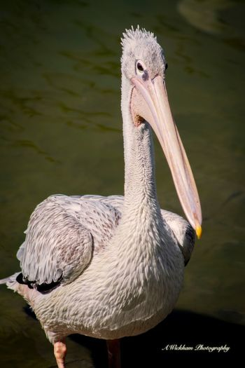 Cheeky Pelican Bird Animal Themes Animals In The Wild One Animal Animal Wildlife Beak No People Nature Outdoors Pelican Close-up