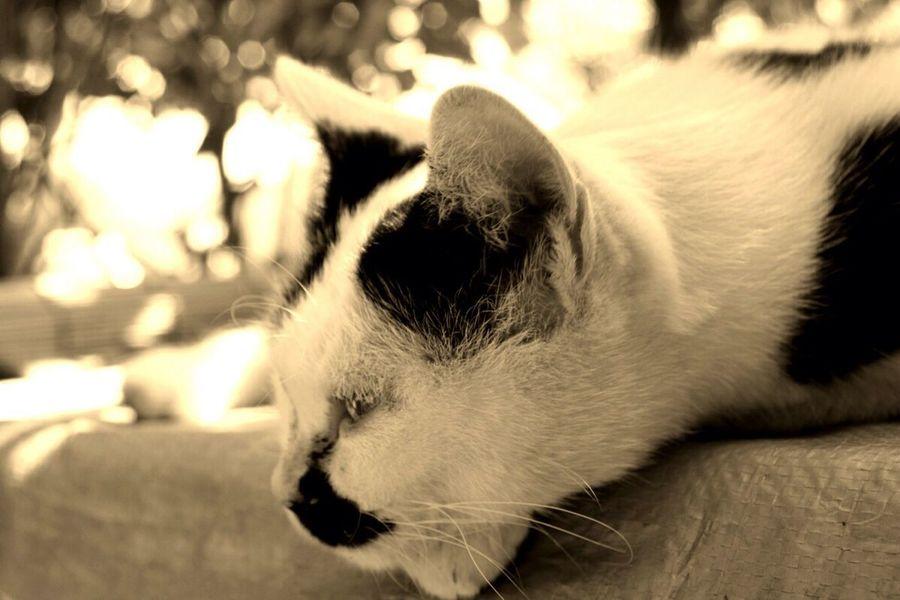 昼寝したい〜sleepy 猫 Cat