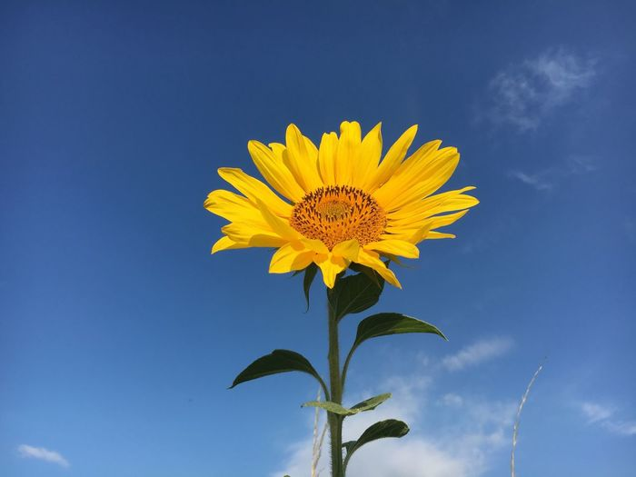 Sunflower Sunflowers Flower Yellow Fragility Petal Growth Nature Beauty In Nature Freshness Sunflower Flower Head Blue Plant Leaf Sky Blooming Day No People Outdoors Low Angle View Close-up Flowers Flower Collection Summer