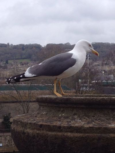 City Gull Seagull Serenity Close-up City City Of Bath Nature Photography Bird Photography