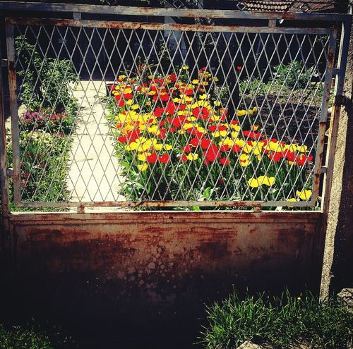 AndjelaMancic First Eyeem Photo Vintage Green Tulips Flowers Rusty
