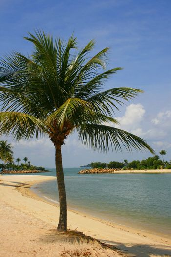 A palm lined beach at Sentosa island in Singapore ASIA Travel Photography Beach Beauty In Nature Day Growth Horizon Over Water Nature No People Outdoors Palm Tree Sand Scenics Sea Sentosa Island Sky Tourist Destination Tranquil Scene Tranquility Tree Tree Trunk Water The Week On EyeEm